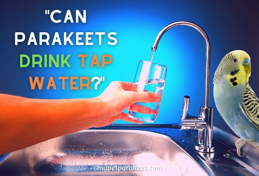 Can Parakeets Drink Tap Water