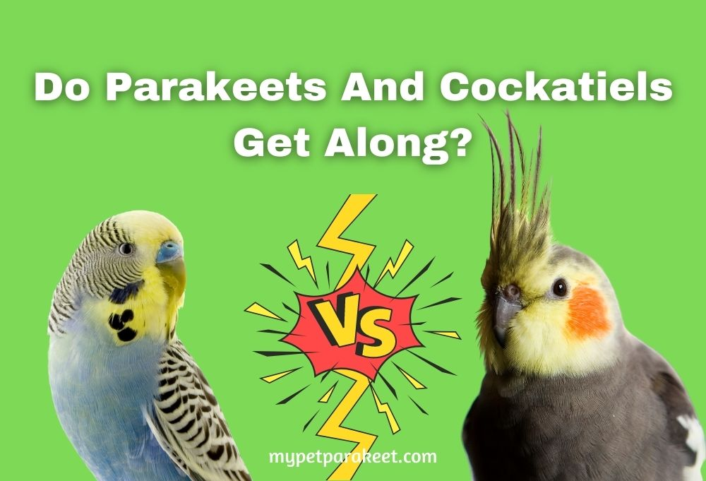 Do Parakeets And Cockatiels Get Along?