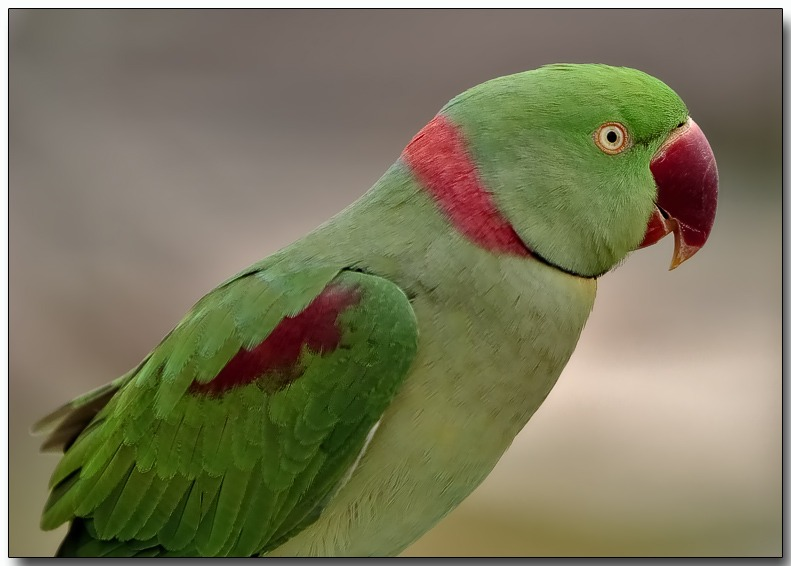 1 Of 50 Different Types Of Parakeets