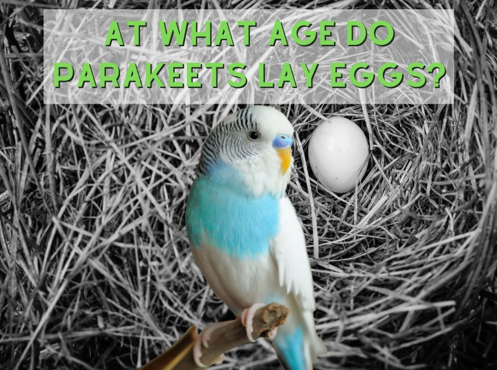 At What Age Do Parakeets Lay Eggs?