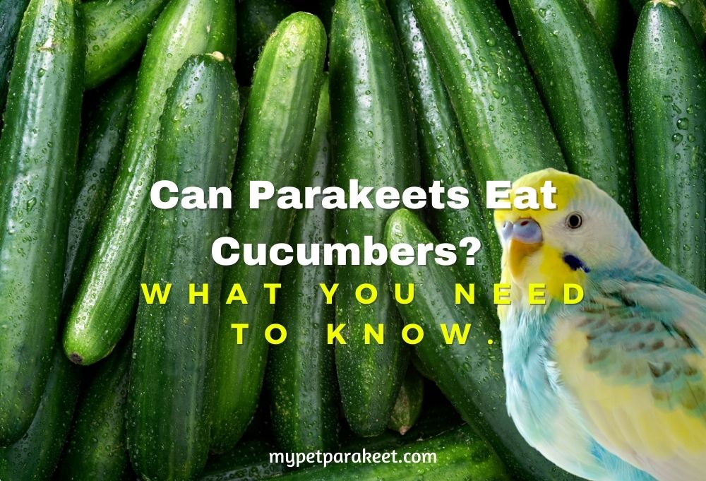 Can Parakeets Eat Cucumbers_