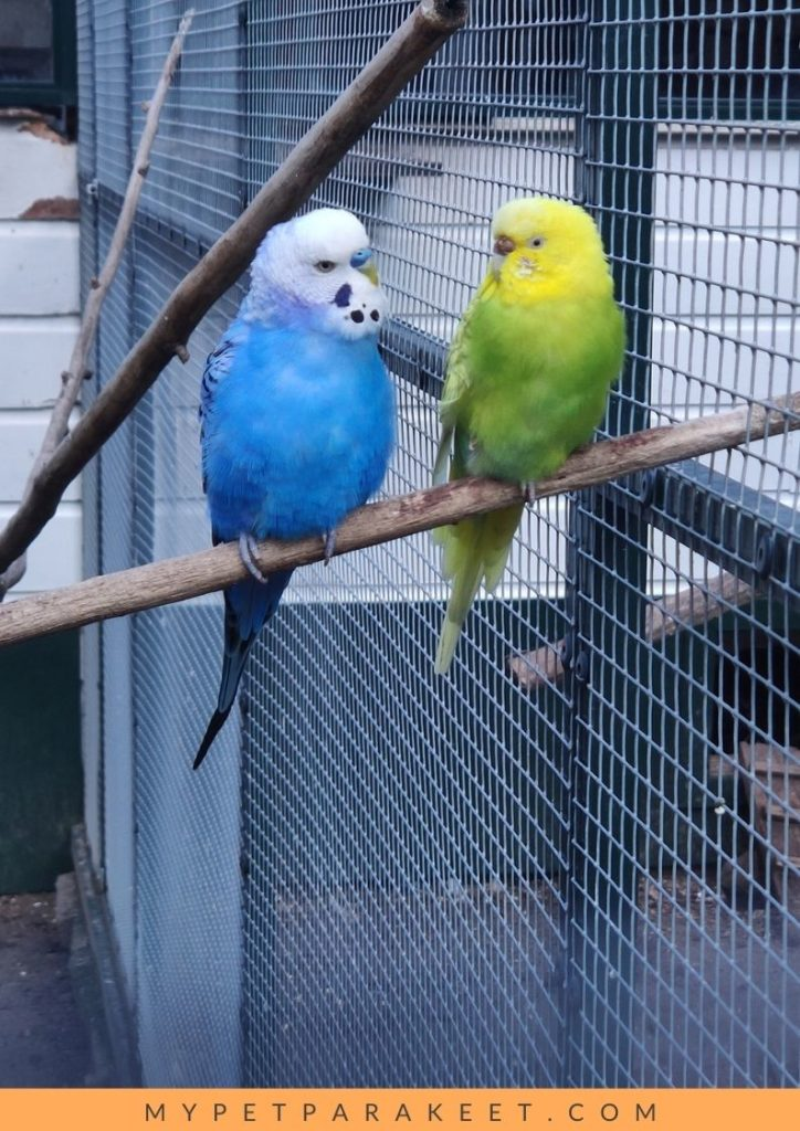 introduce your parakeet to a new friend of the same species
