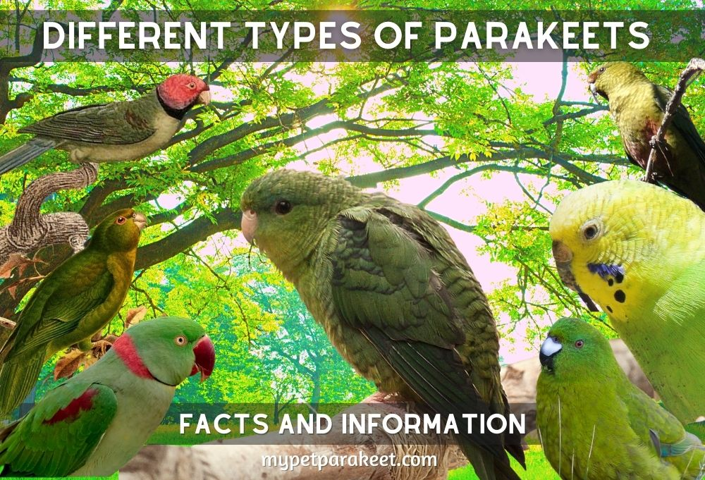 DIFFERENT TYPES OF PARAKEETS