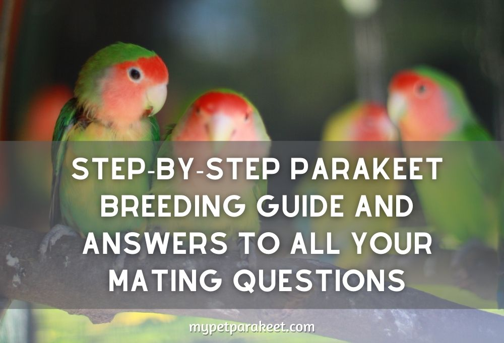 Step-By-Step Parakeet Breeding Guide And Answers To All Your Mating Questions