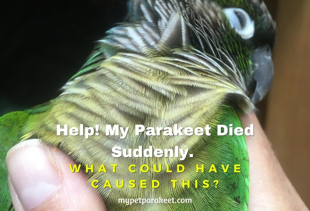 Help! My Parakeet Died Suddenly. What Could Have Caused This?