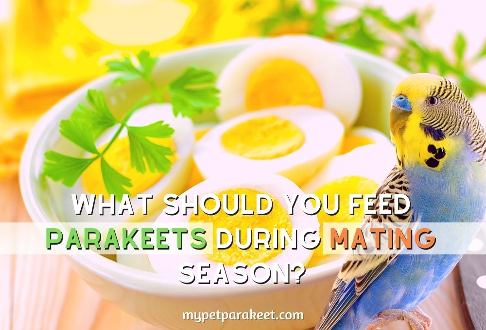 What Should You Feed Parakeets During Mating Season?