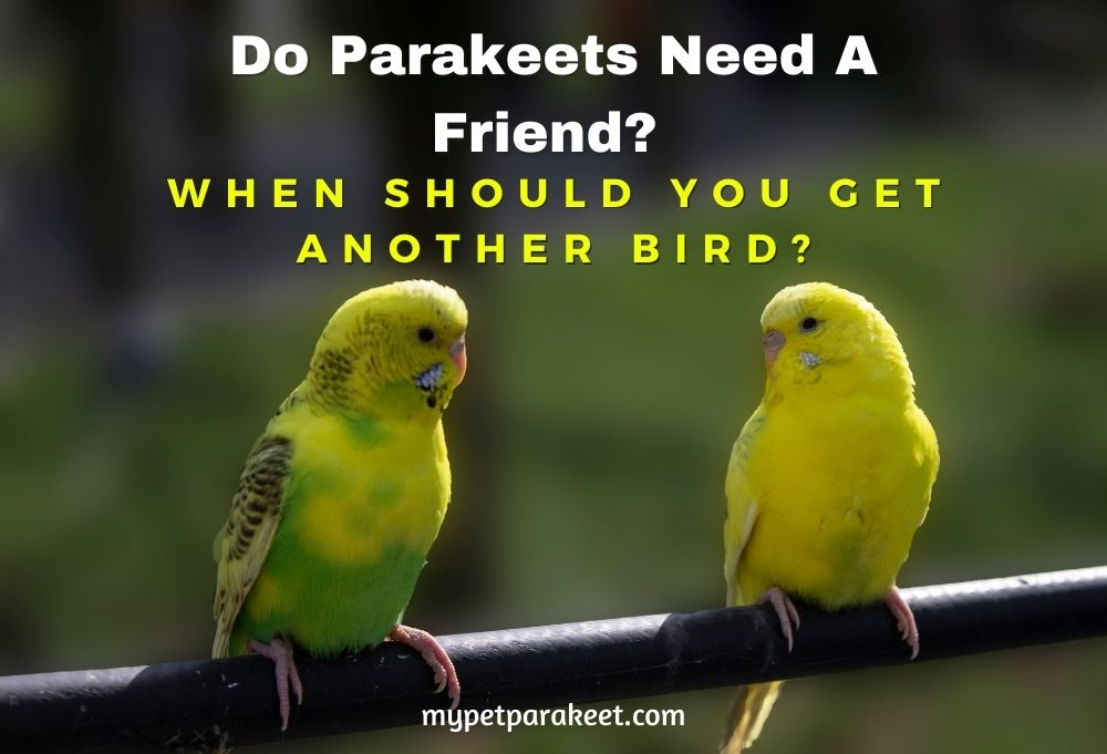 Do Parakeets Need A Friend?