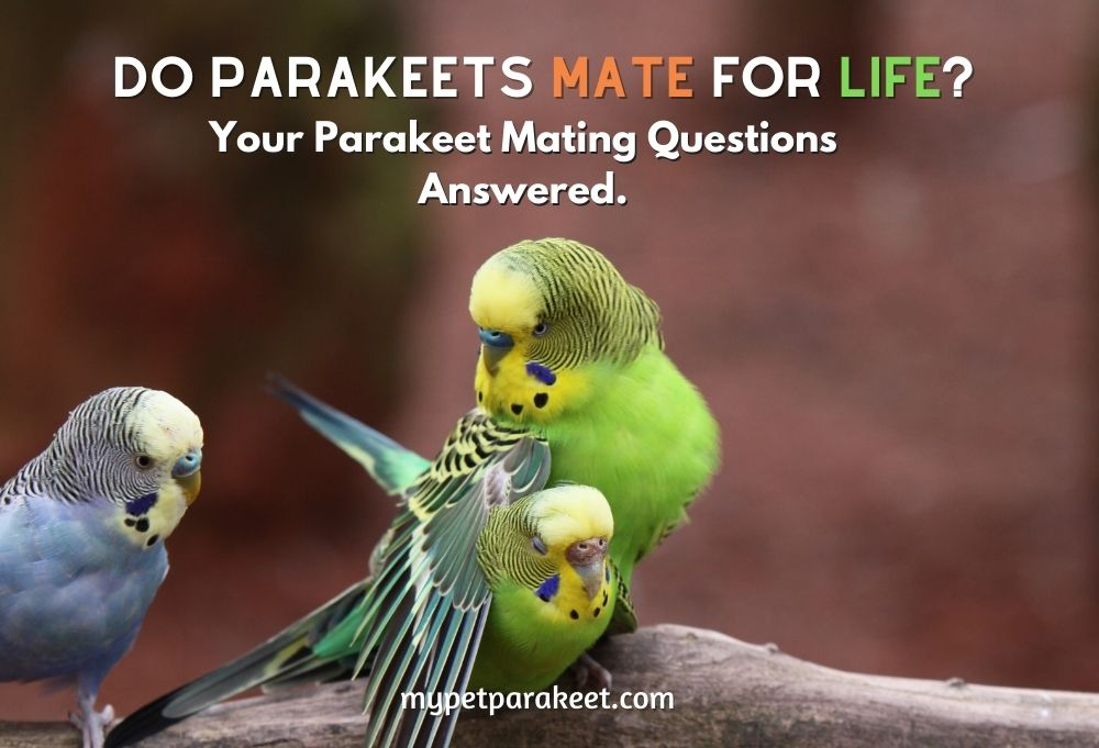 Your Parakeet Mating Questions Answered.