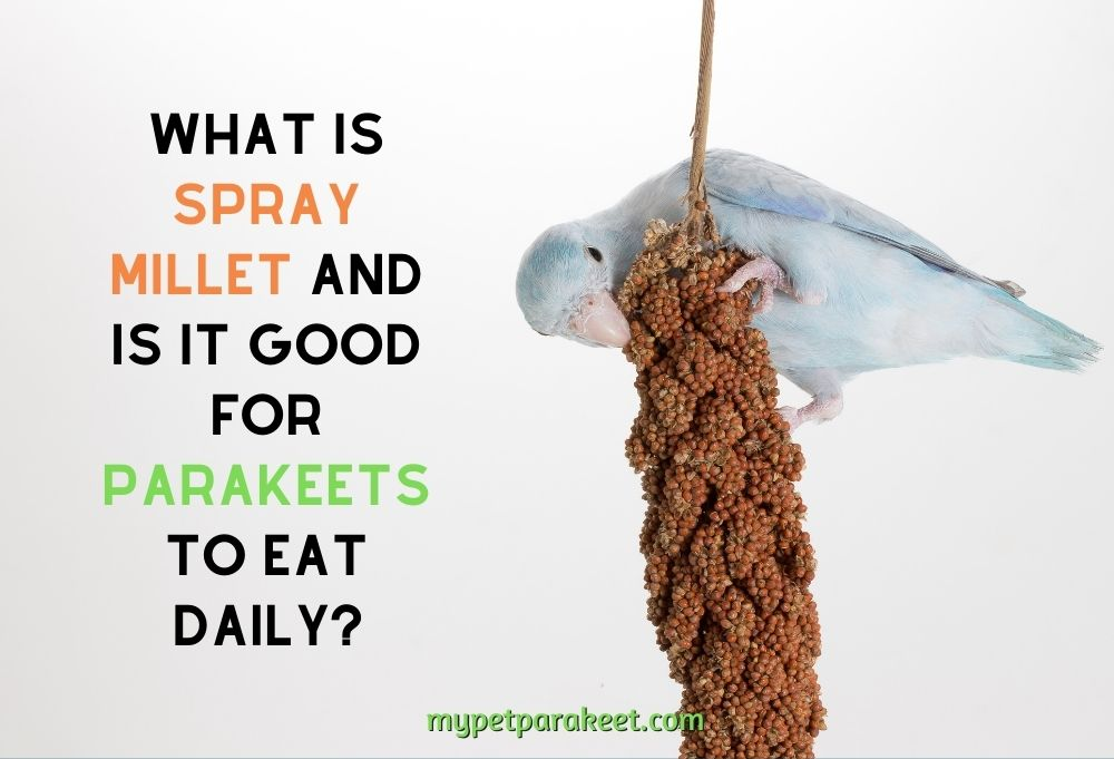 What Is Spray Millet And Is It Good For Parakeets To Eat Daily?