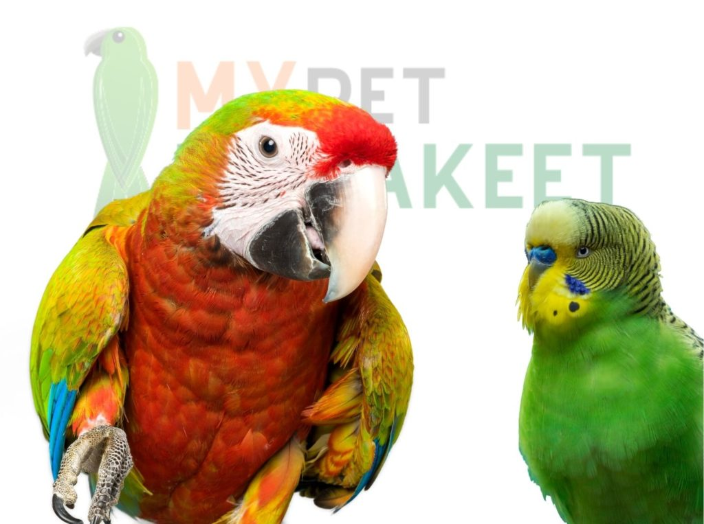What Are The Similarities Between Parrots And Parakeets