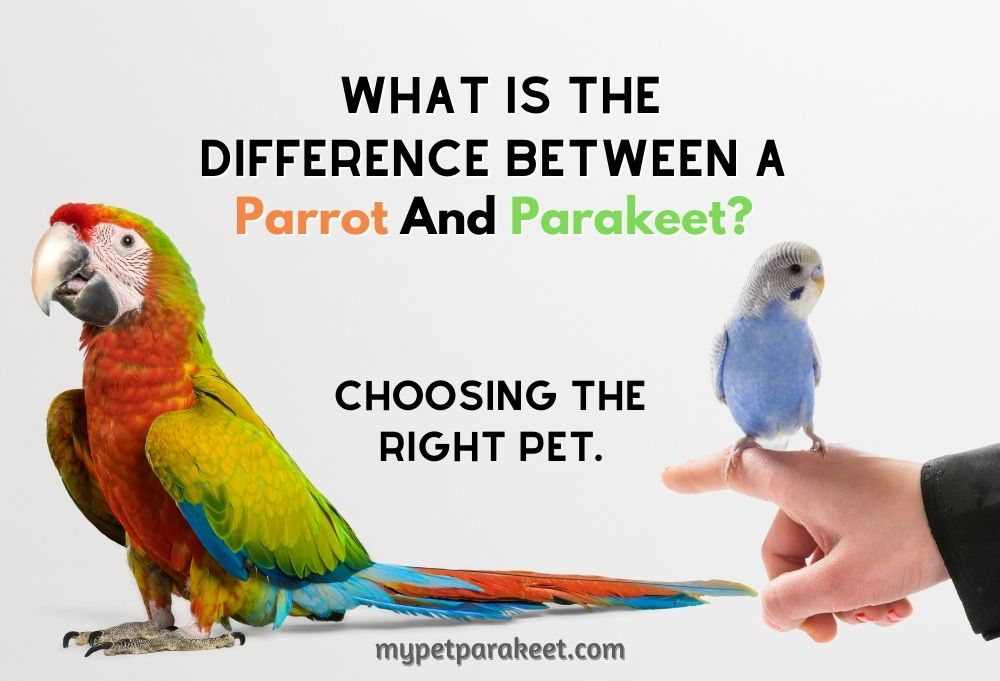 what is the difference between a parrot and parakeet?