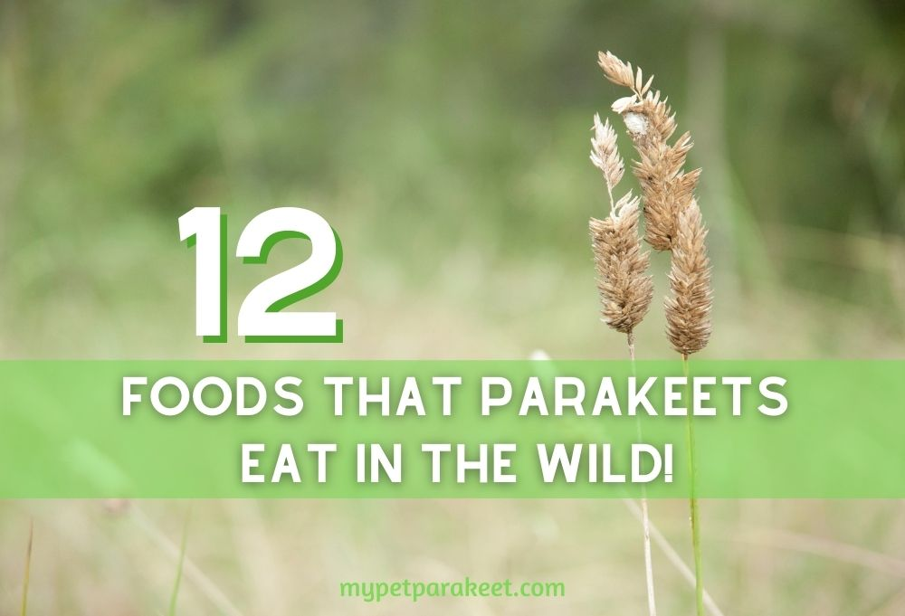 12_Foods_That_parakeets_Eat_in_the_Wild