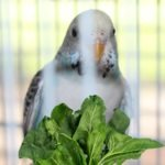 Can Parakeets Eat Spinach?