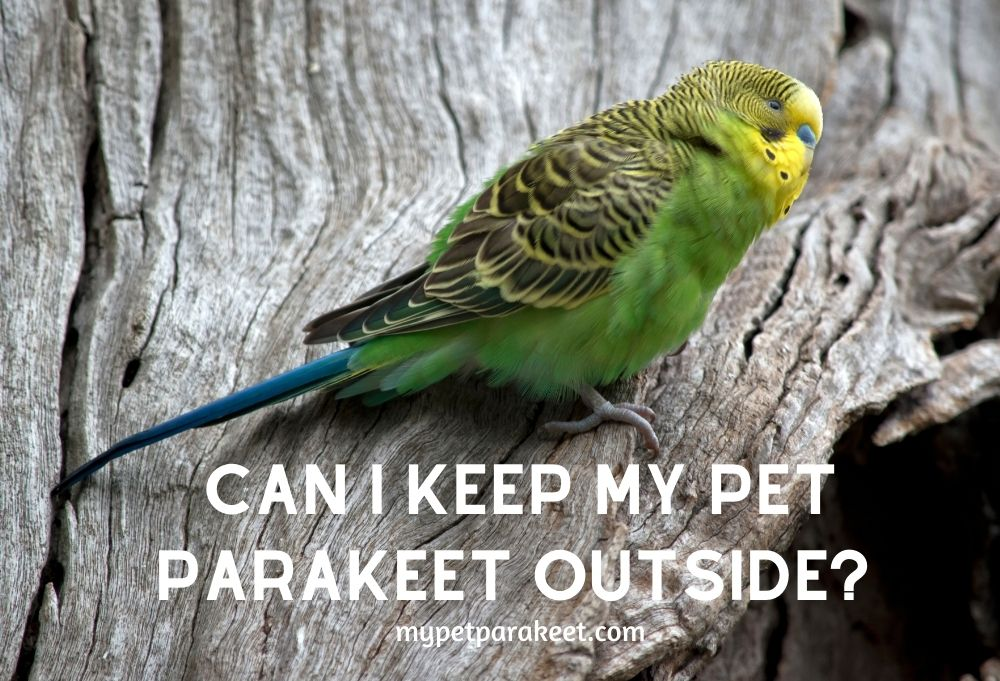 Can I Keep My Pet Parakeet Outside? Cage Indoors Or Aviary Outside