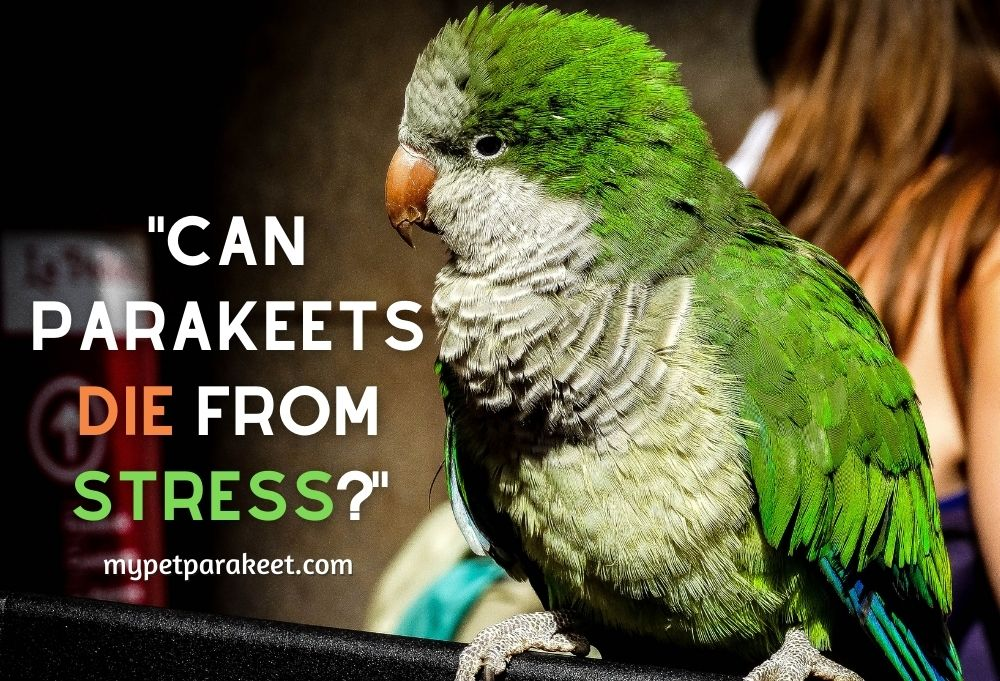 Can Parakeets Die From Stress?