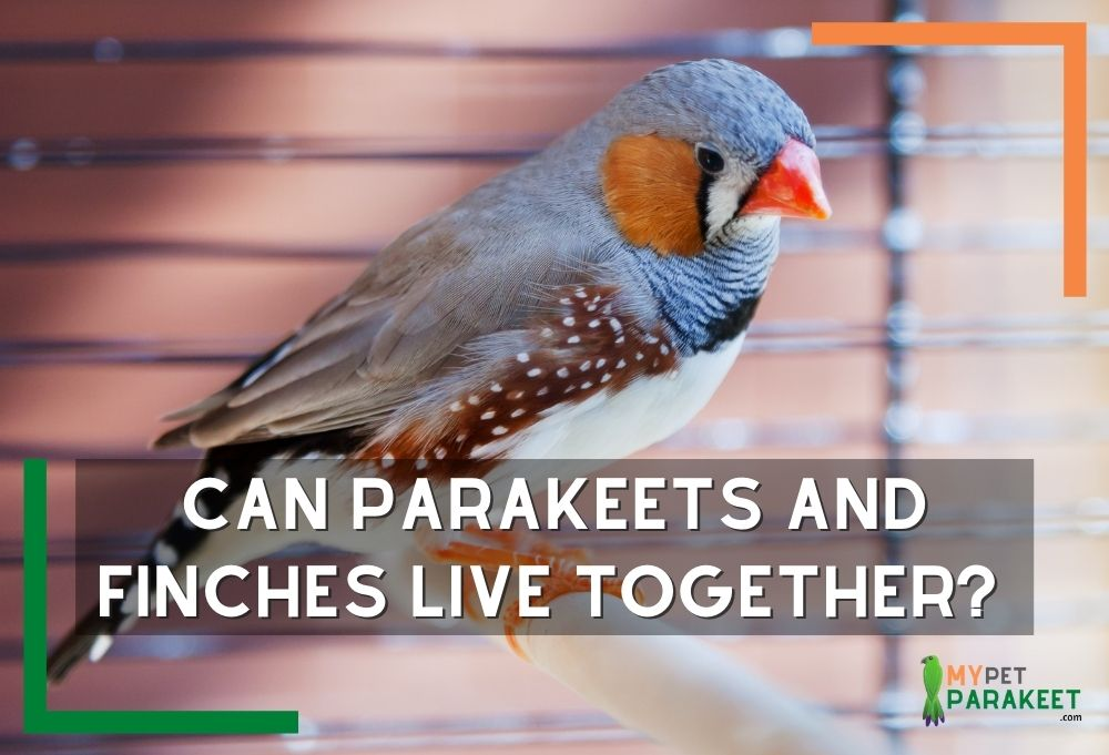 Can Parakeets And Finches Live Together?