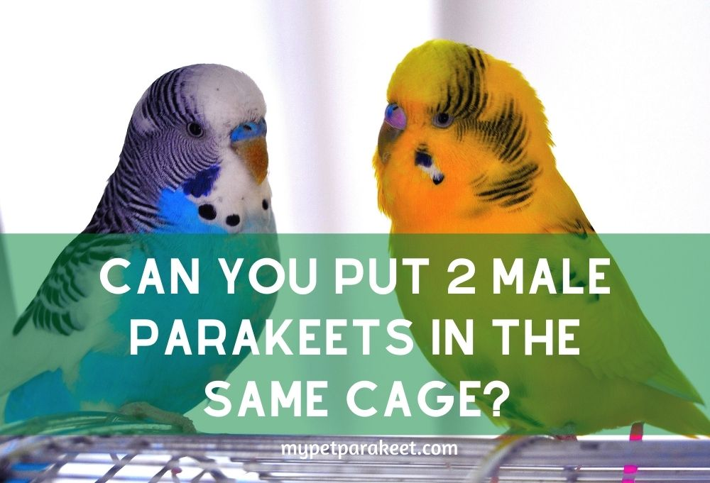 Can You Put 2 Male Parakeets In The Same Cage?