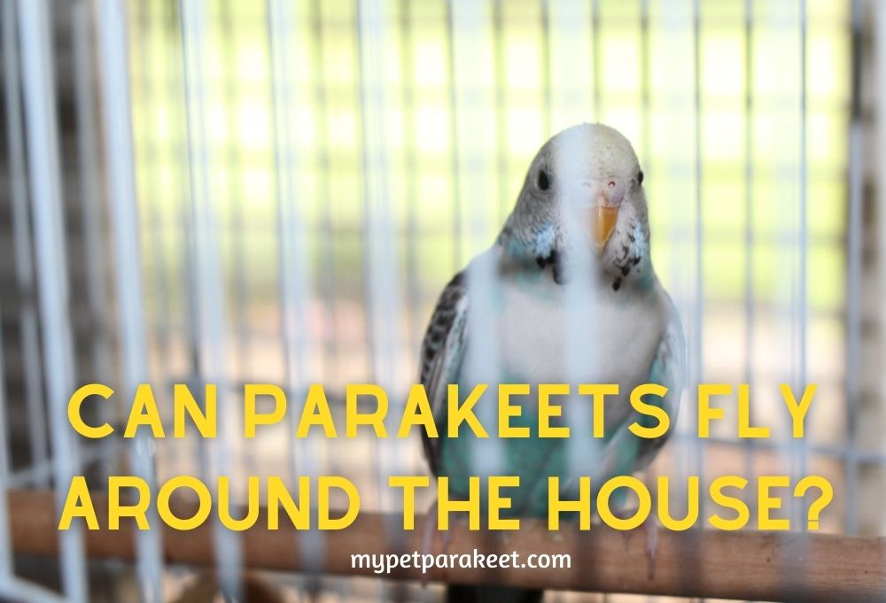 Can parakeets fly around the house?