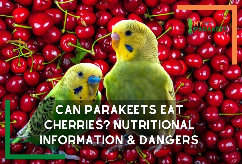 Can_Parakeets_Eat_Cherries