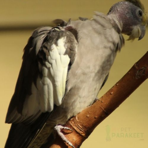 Caring For Your Molting Parakeet
