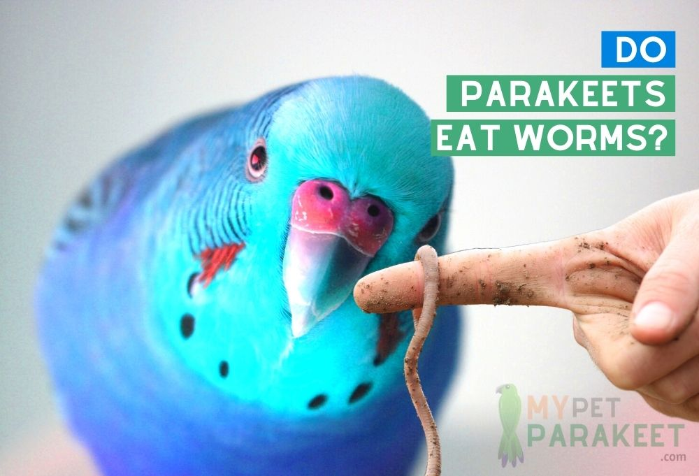 Do Parakeets Eat Worms?