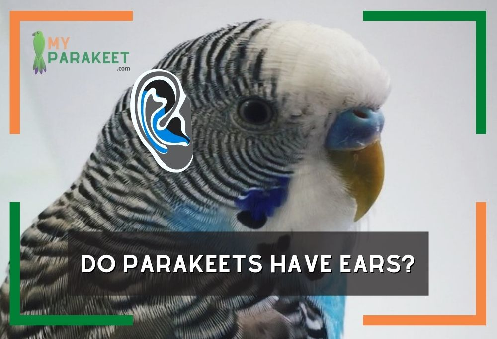 Do Parakeets Have Ears? Interesting Facts About A Parakeets Hearing