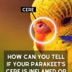 How Can You Tell If Your Parakeet'S Cere Is Inflamed Or Irritated