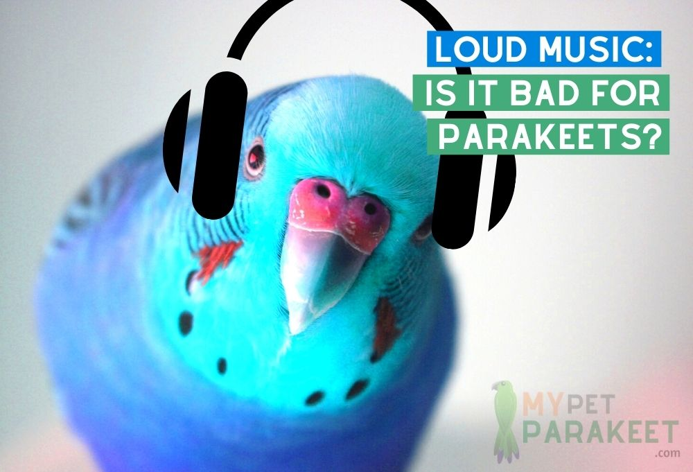 Loud Music Is It Bad For Parakeets?
