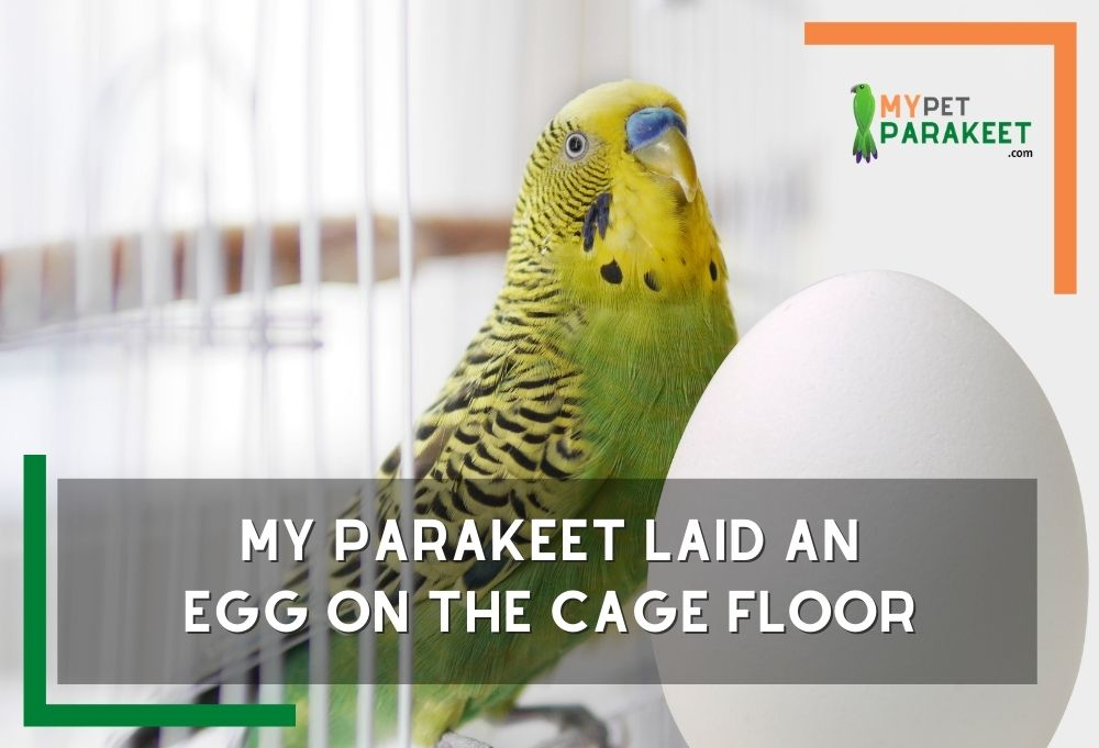 My Parakeet Laid An Egg On The Cage Floor