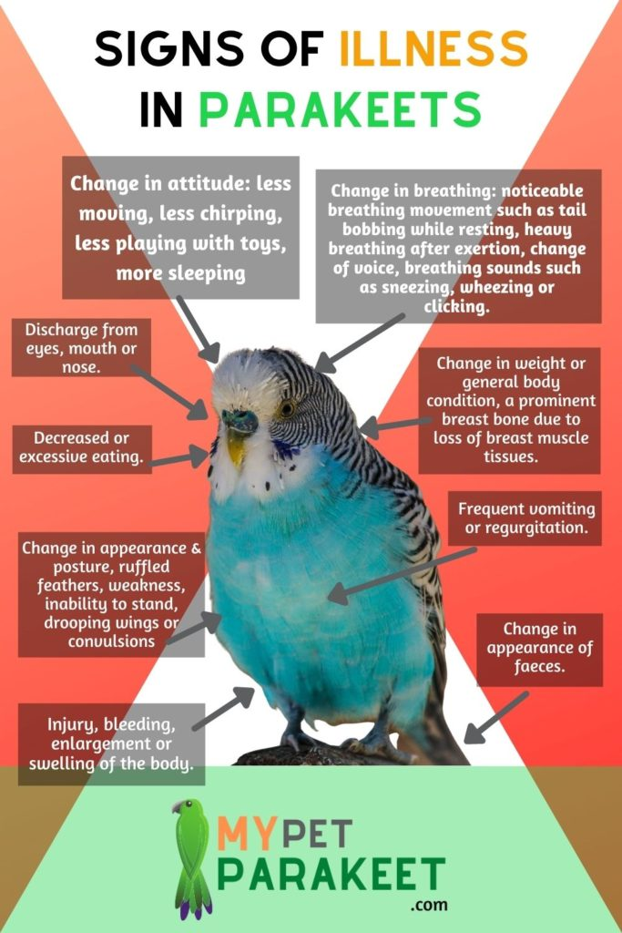 Signs_of_illness_in_parakeets