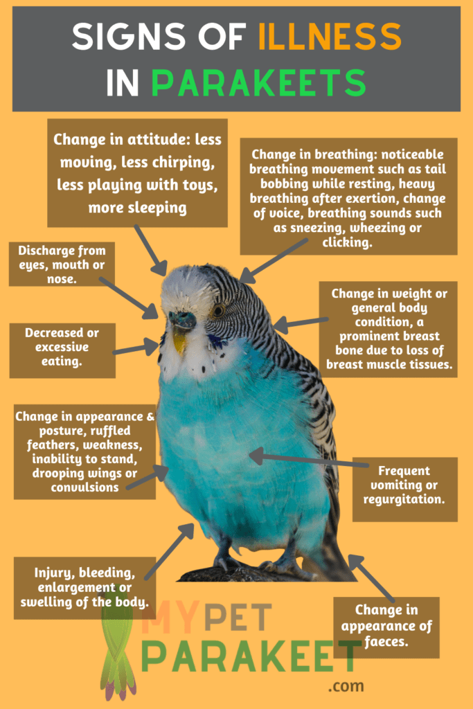 Recognizing Signs Of Illness In Parakeets infographic