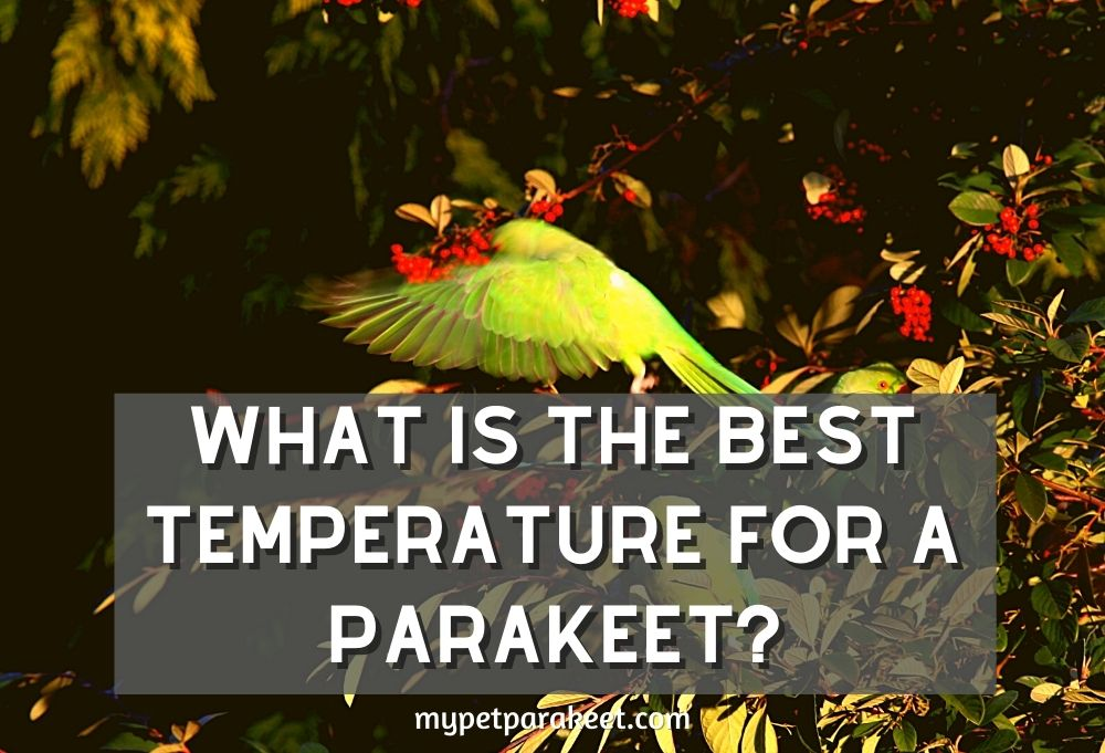 Parakeet Care: What Is The Best Temperature For A Parakeet?