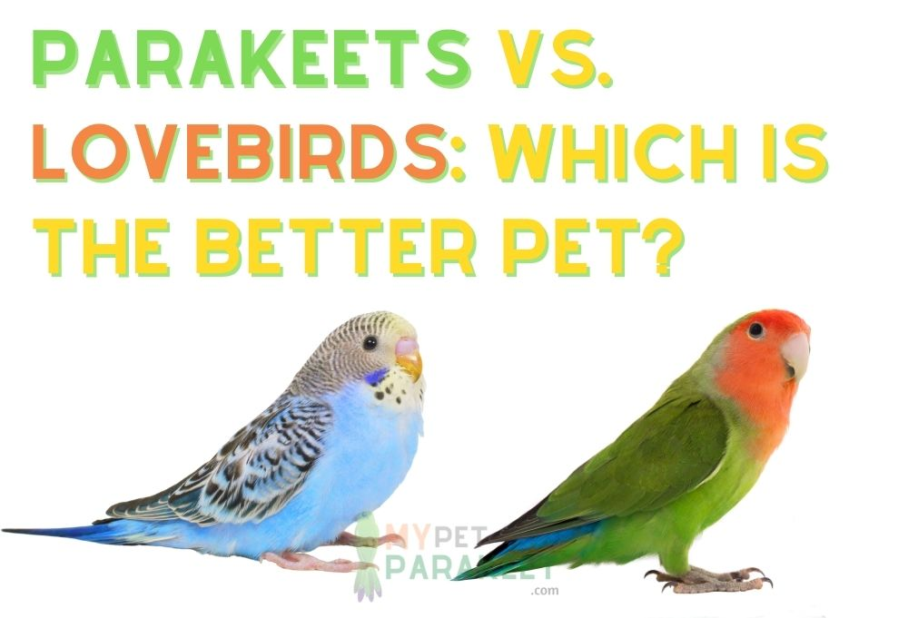 Parakeets Vs. Lovebirds: Which Is The Better Pet?