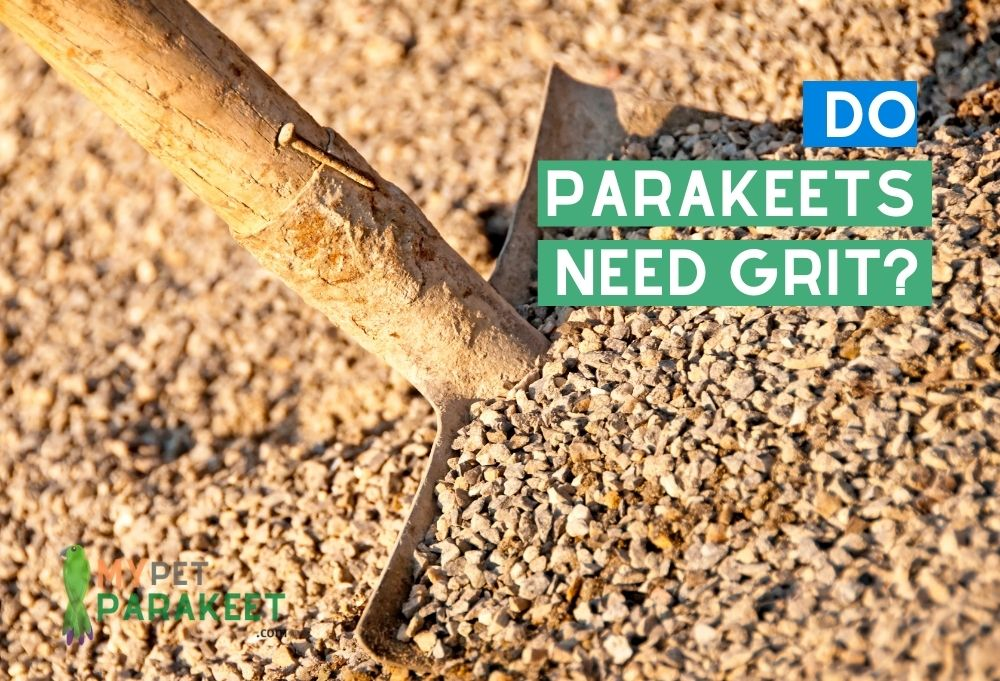 What Is Grit? And Do Parakeets Need It?