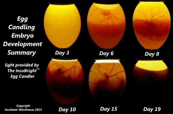 egg incubation infographic