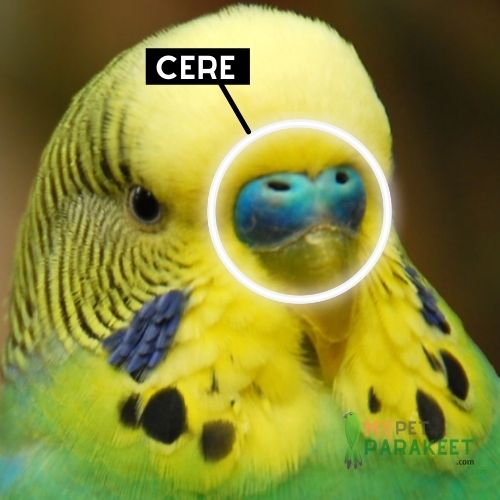 What Is A Cere?