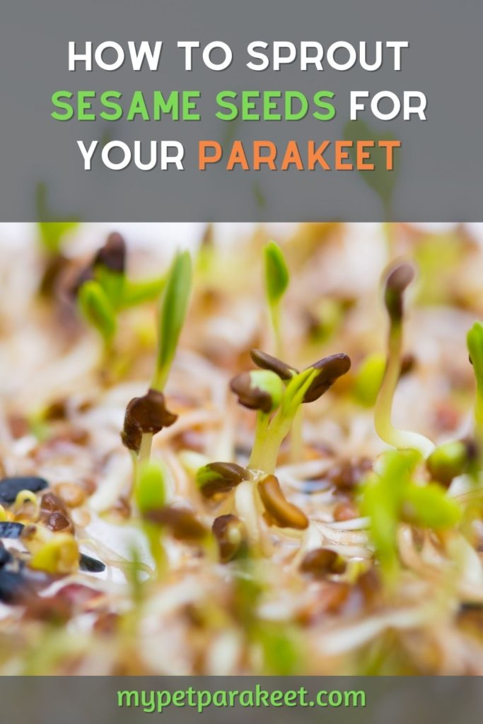 how to sprout sesame seeds for your parakeet