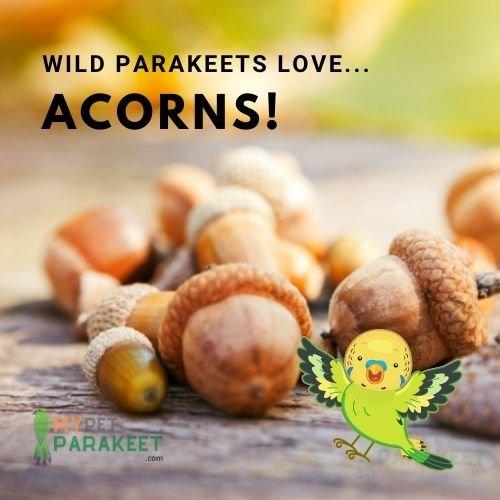 Parakeets In The Wild Eat Acorns