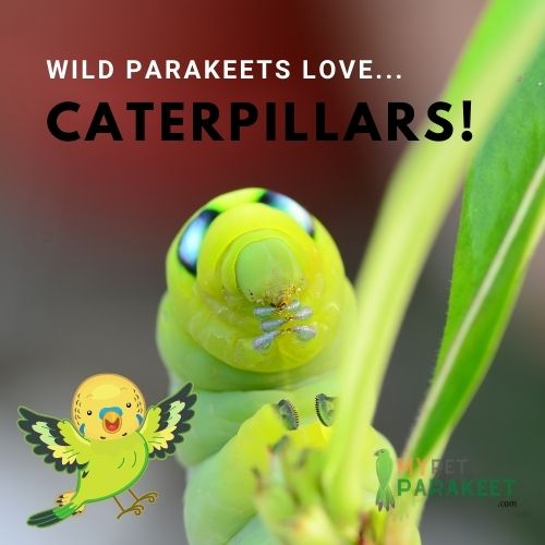 Parakeets In The Wild Eat Caterpillars