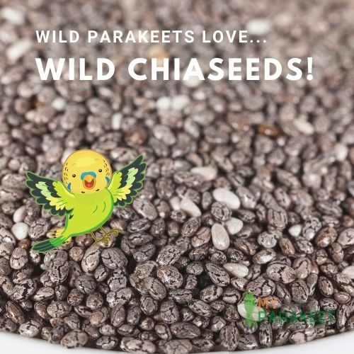 Parakeets In The Wild Eat Chiaseeds