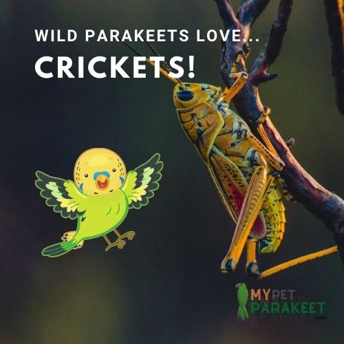 Parakeets In The Wild Eat Crickets