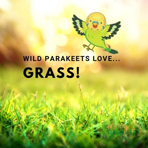 Parakeets In The Wild Eat Grass