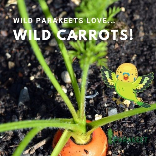 Parakeets In The Wild Eat Wild Carrots