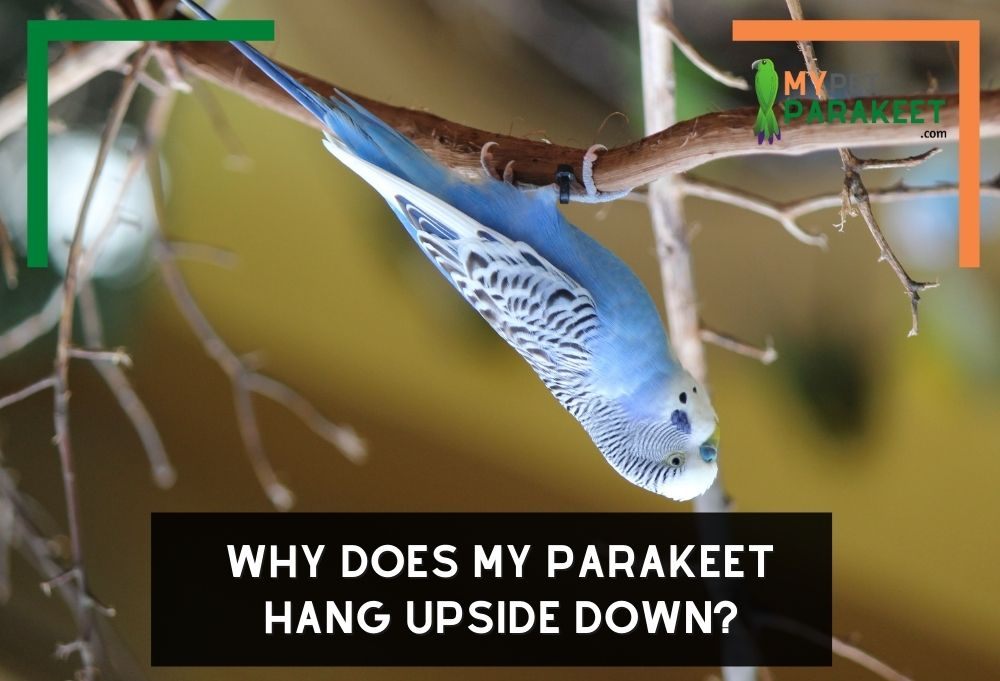 Why Does My Parakeet Hang Upside Down?