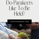 Do Parakeets Like To Be Held?