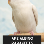 Are Albino Parakeets Rare?: Albinism In Parakeets