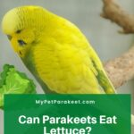 Can Parakeets Eat Lettuce? Read This Giving Your Bird Lettuce