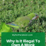 Why Is It Illegal To Own A Monk Parakeet?