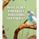 Why Is My Parakeet Shedding Feathers?