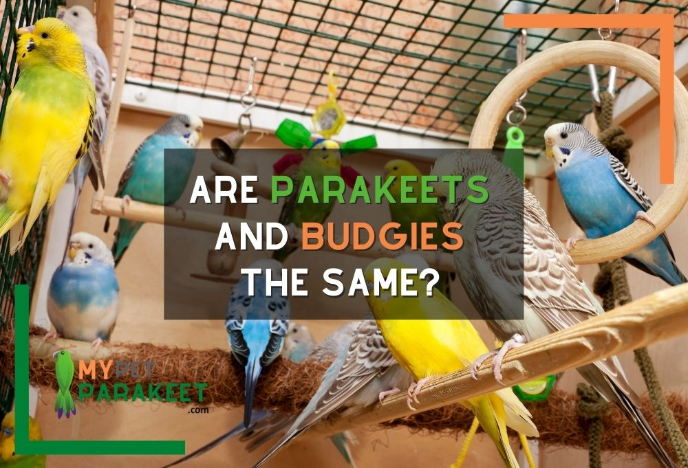 Are Parakeets And Budgies The Same?